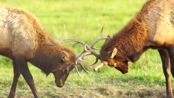 Dva mužské býčí Elk zápasení testování zvířat Wildlife Velká hra