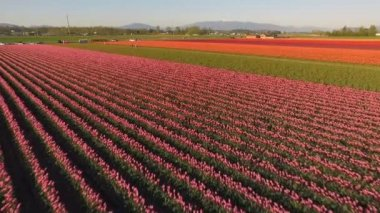 Various Colors Of Tulips Appear in Agricultural Field Floral Tulip