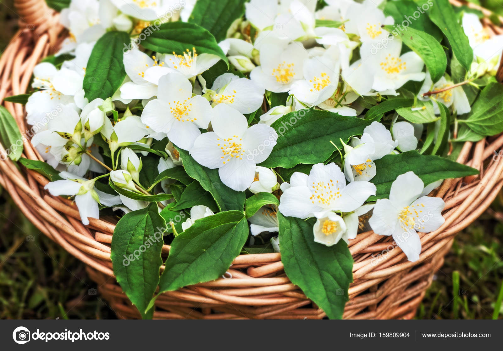Basket With Jasmine Flowers Stock Photo Dashabelozerova 159809904