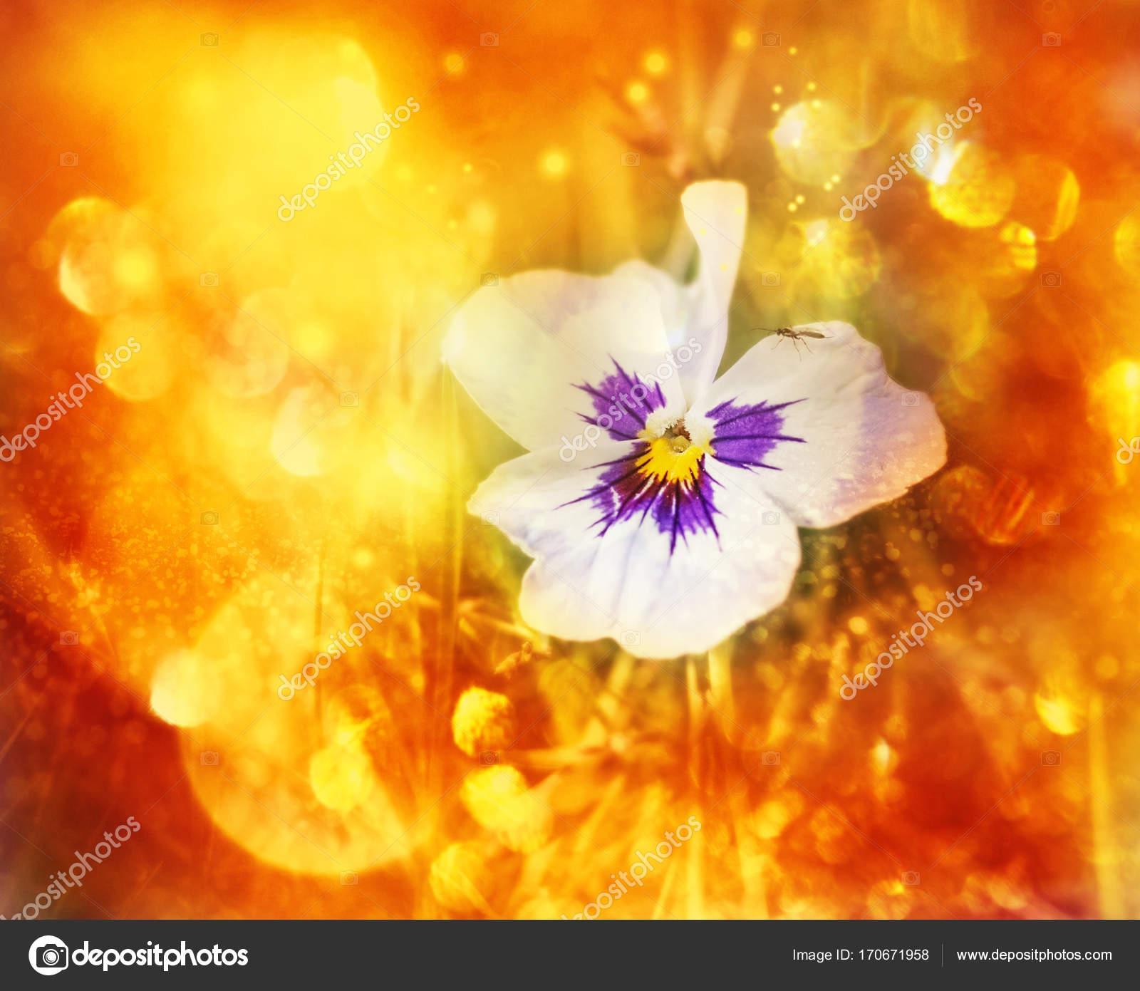 Pensees De Fleur En Fond Orange Flou Photographie Dashabelozerova