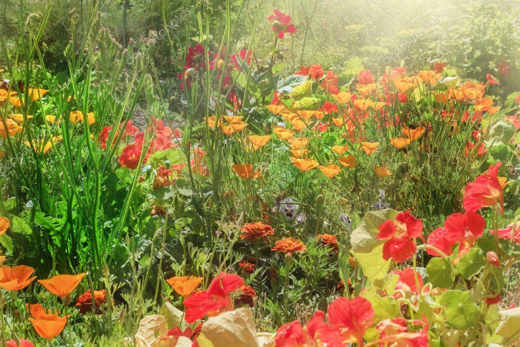 Escholzia and nasturtium in garden
