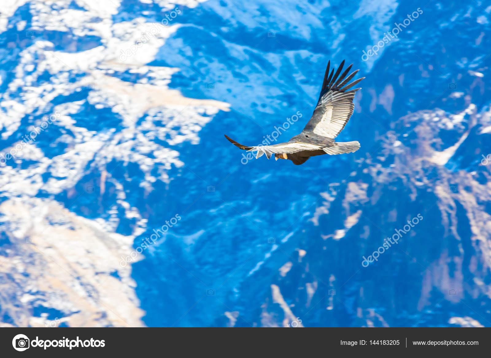 Condor Am Colca Canyon Sitzen Peru Südamerika Dies Ist Einem