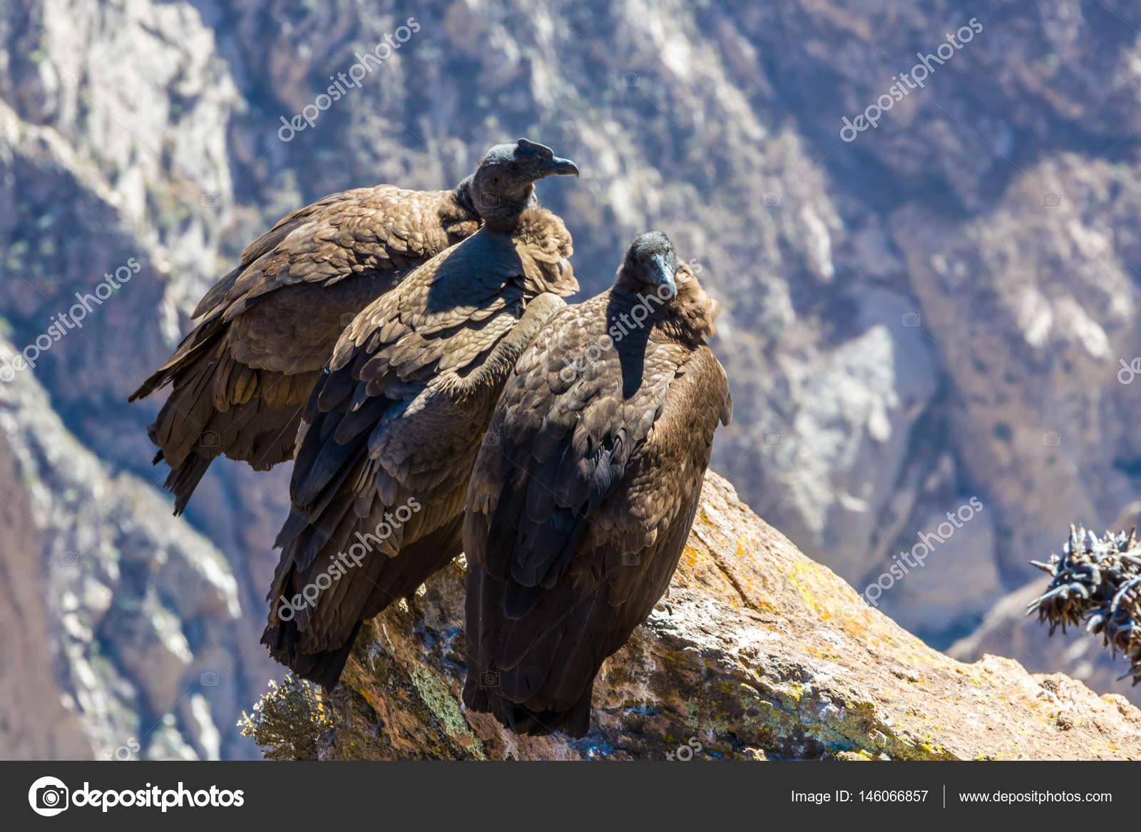 Drei Kondore Im Colca Canyon Sitzen Peru Südamerika Dies Ist