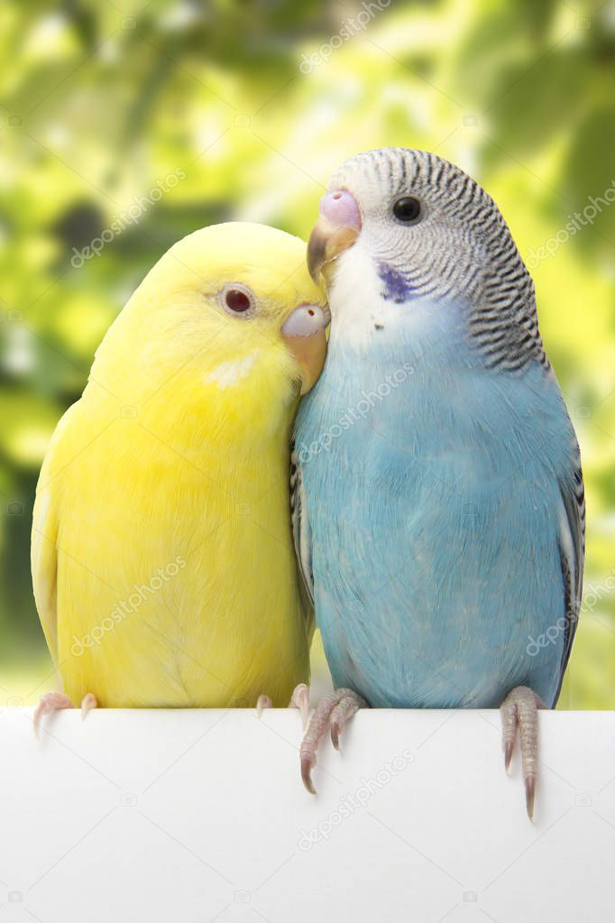 the colorful budgies are on a green background