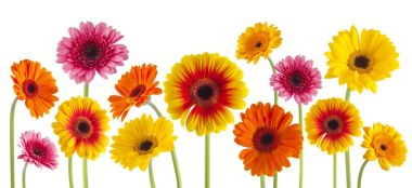 colorful gerbera flowers isolated