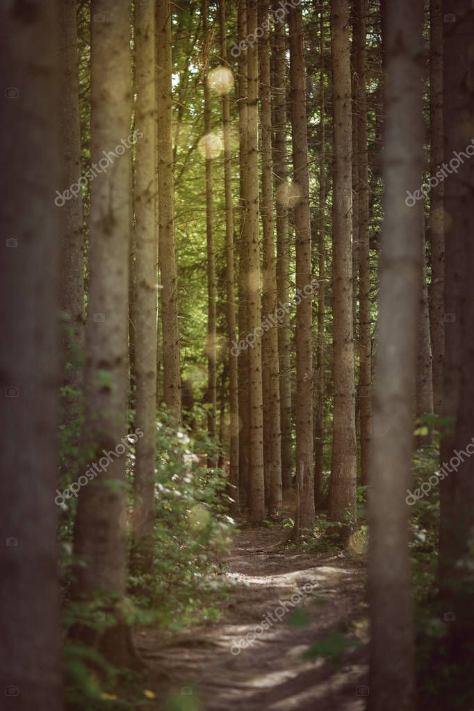 romantic forest trail trough spruce trees can be used as background