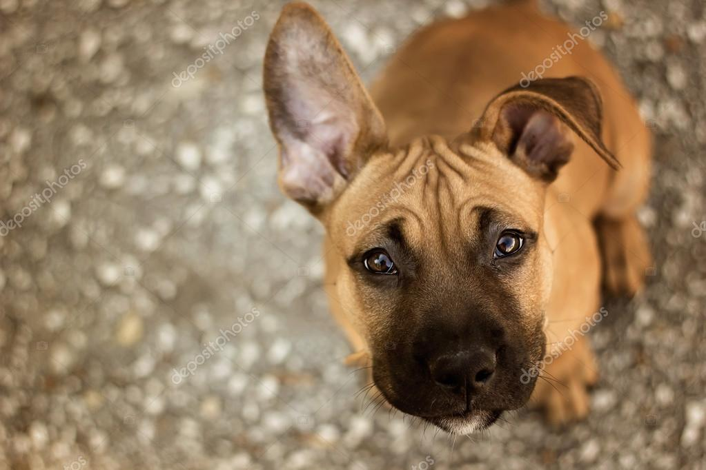 Young American Staffordshire terrier