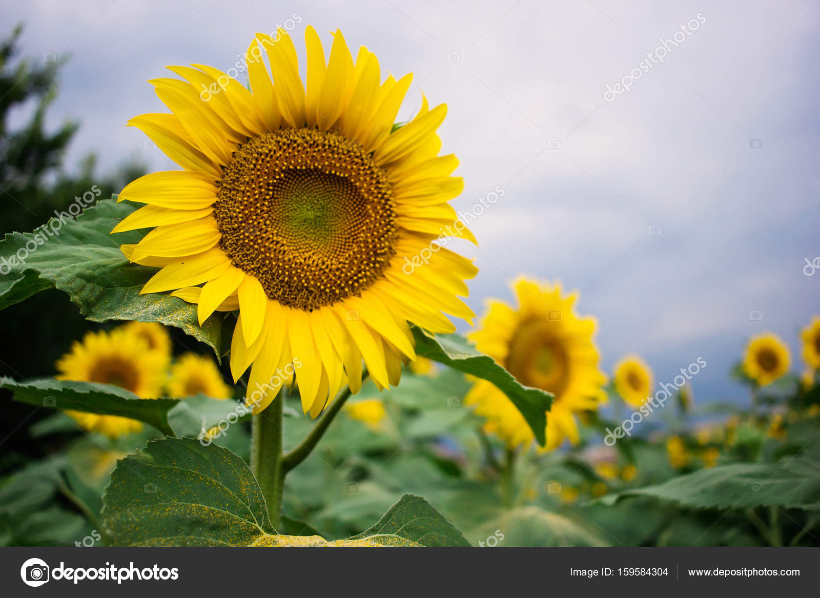Field Of Beautiful Sunflowers Stock Photo Milennet 159584304