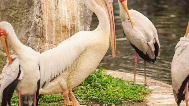 Siberian Sandhill Cranes