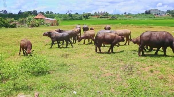 Býci se hrnou odřeniny na zelené trávě