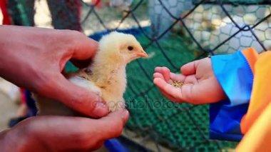 closeup of little girl feeding chicken