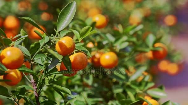 mandarinkami desky plné zralého ovoce