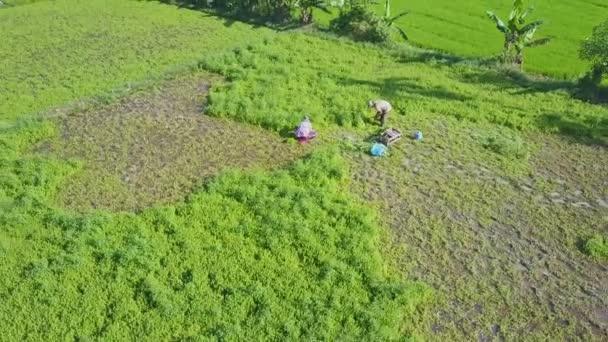 zemědělci sklizeň salát na hřišti