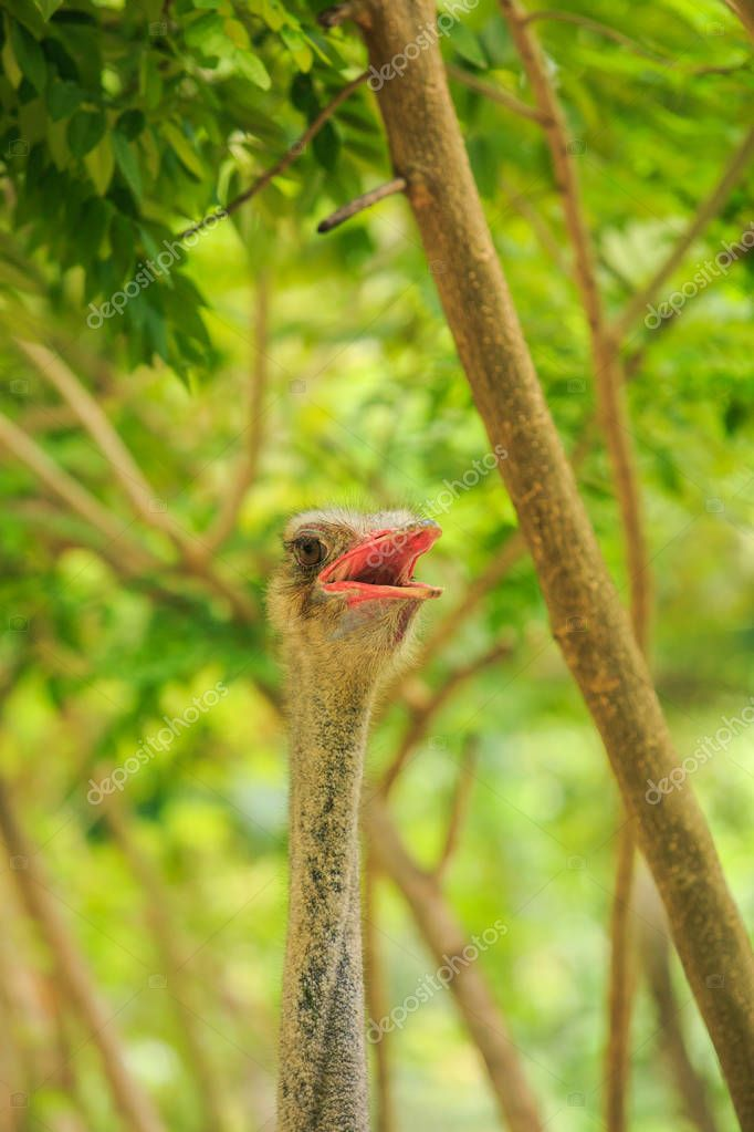 closeup large colorful ostrich head with open beak and neck against plants in tropical park in Vietnam