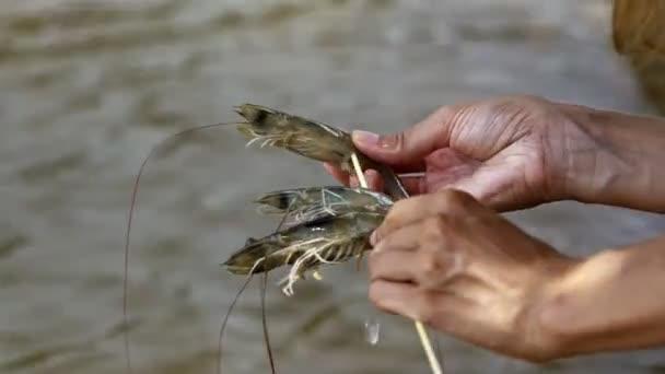 woman prick king shrimps on stick