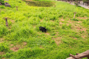 black bear cub plays on high grass in zoo of tropical park in Vietnam