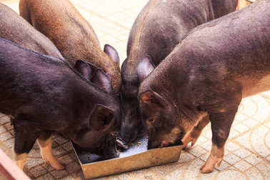 closeup black pigs stand around feeding trough eat front view in tropical park zoo in Vietnam