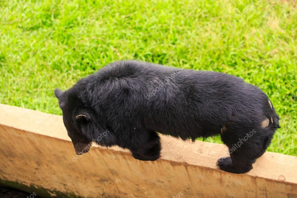 closeup large black bear stands on four paws on stone wall against green grass in zoo