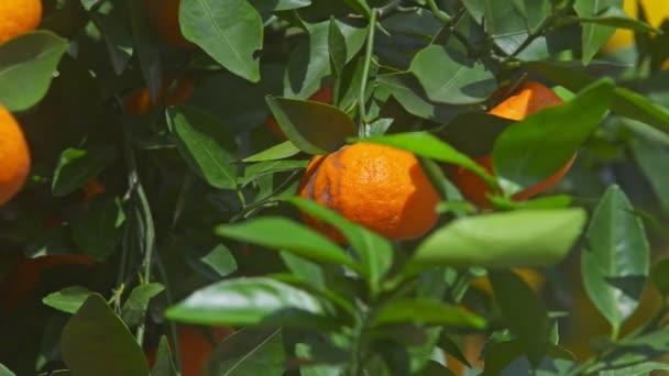 orange ripe mandarins on tree branches
