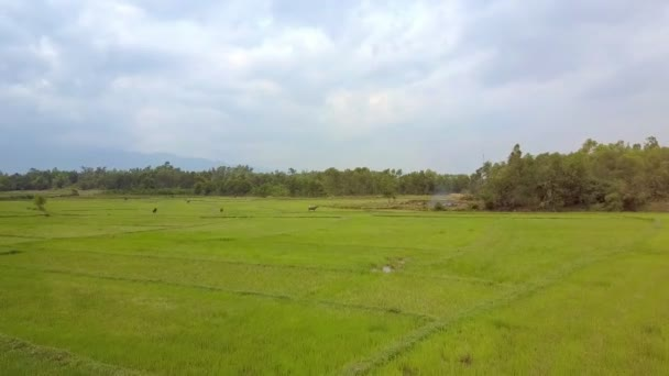 amazing flight over large green meadow with grazing buffaloes against trees and cloudy sky