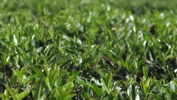 lassú mozgás között buja teabokrok mező közelkép