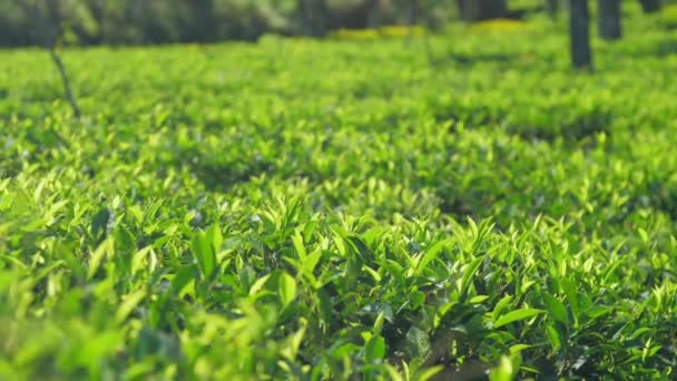 bright green tea grows on field at sunlight slow motion
