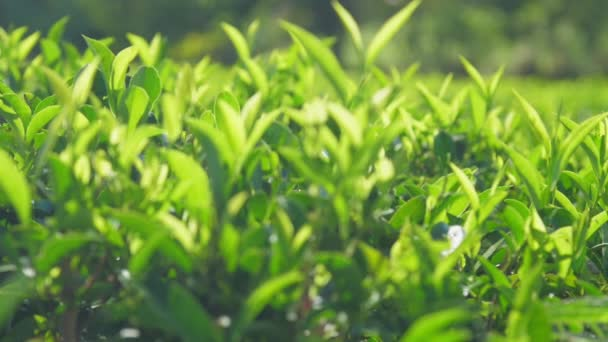 green leaves on fresh tea bushes close view slow motion