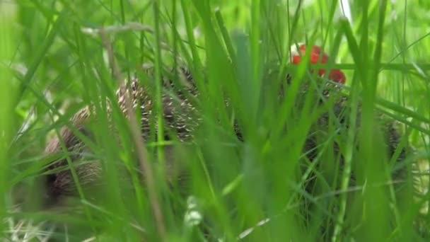 zöld fűben ülő szamócás sündisznó