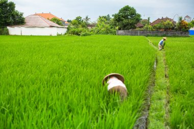 farmers working in a rice field