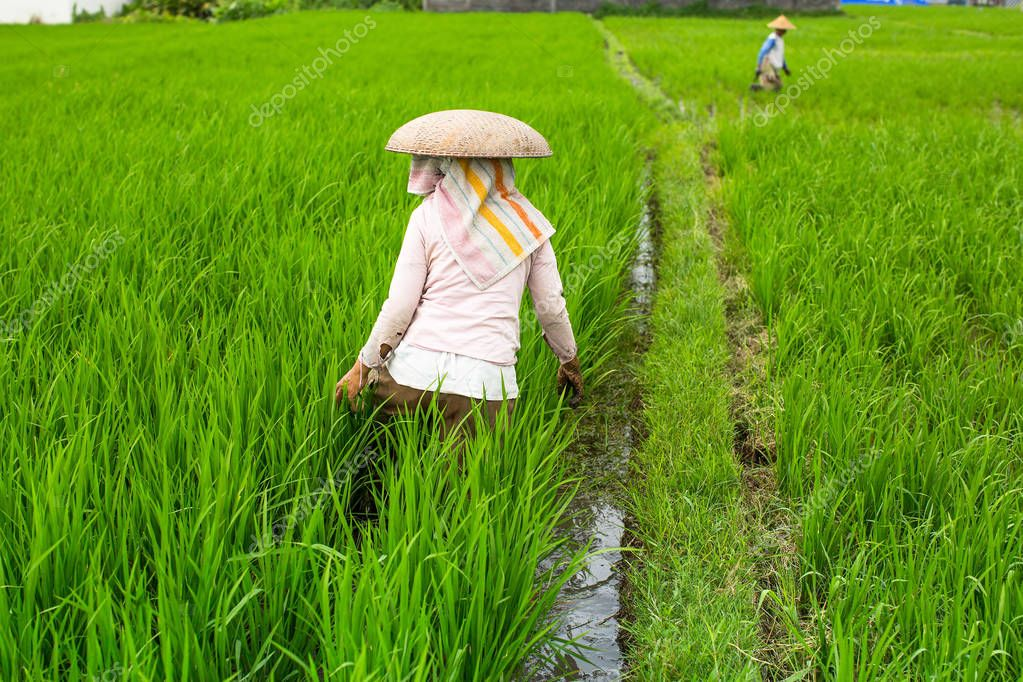 Indonesian farmers cultivate rice