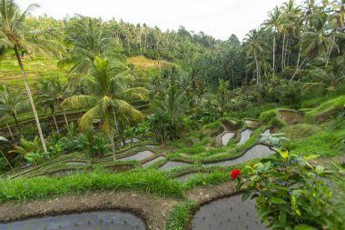 Green rice terraces in Bali