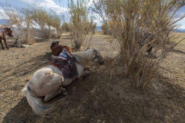 Horses  near the Mongolian Yurt
