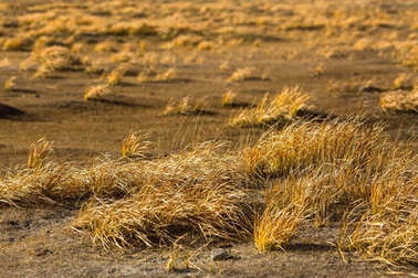 Golden yellow grass at steppe in Western Mongolia.