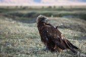 Fotografia Aquila doro si trova nella steppa