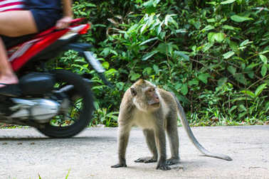 Monkey on the road, passing motorbikes.