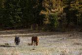 Fotografie Pferde grasen auf dem Rasen im Altai-Gebirge, Russland