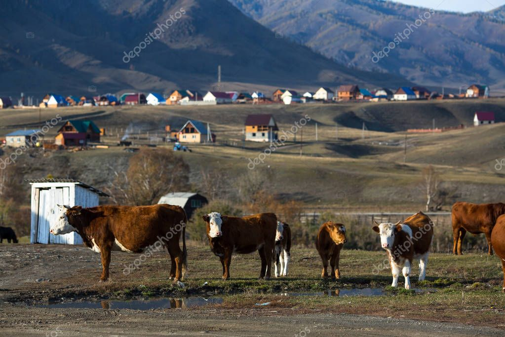 Cows grazing in the village at mountains.