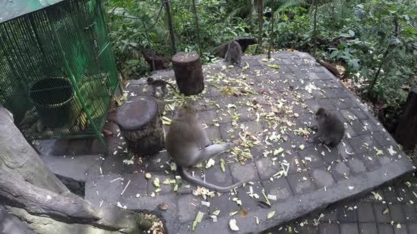 Hosszú farkú makákók