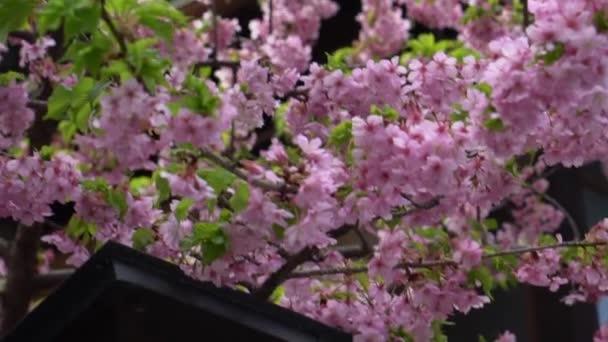cseresznye virágok tavasszal