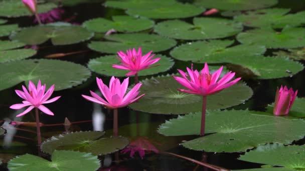 růžový leknín na jezeře