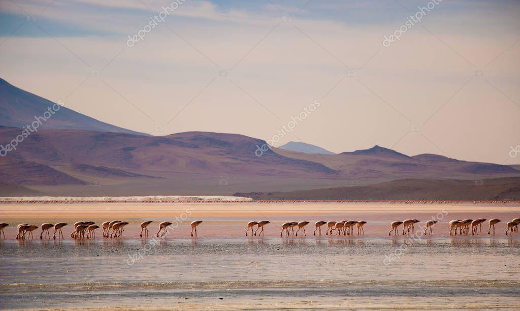 Flamencos andinos en la Laguna Colorada de Bolivia