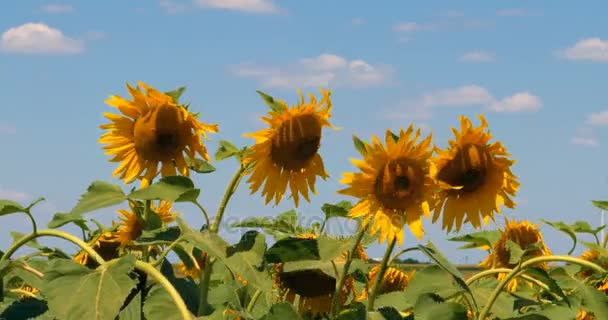Sunflowers blooming field against summer blue sky. 4k
