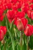 primavera rosso tulipani