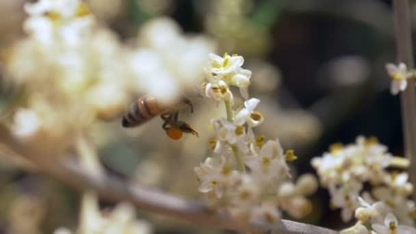 Přinášejí včely nektar na bílý květ