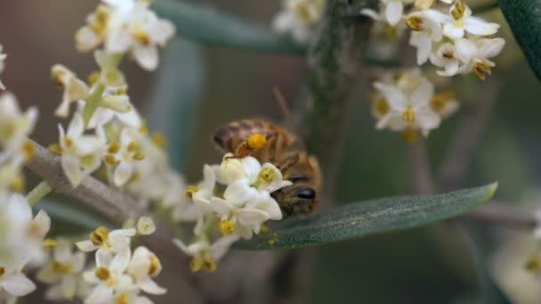 mézelő méh nektárt gyűjt a virágok