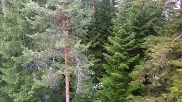 jehličnatých lesů v horách