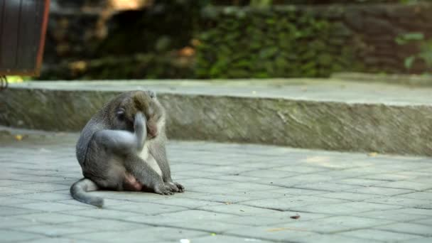Adult big male monkey sits and itches.