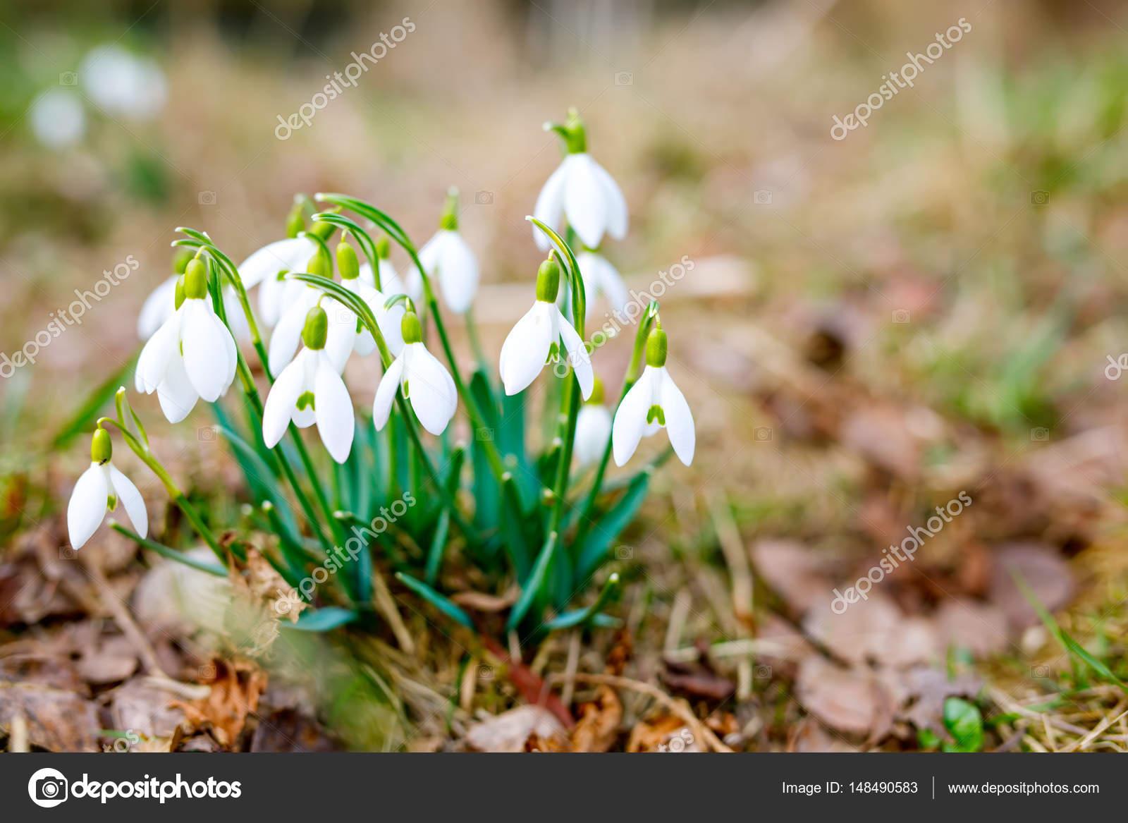 schneeglöckchen als erste frühlingsblumen. pflanzen blühen auf