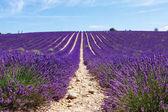 Kvetoucí levandule pole poblíž Valensole v Provence, Francie.