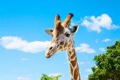 žirafy v zoo safari parku. Krásné divoké zvířata